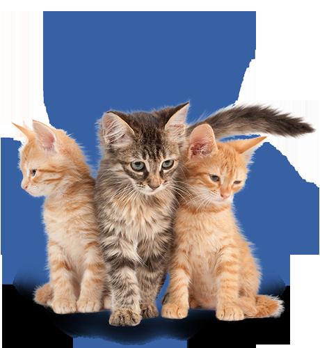 Kitten 8 weeks - 1 year
